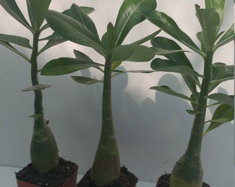 3 Desert rose plants,ships free and display pots with cactus soil blend too,Adenium obesum,nice caudex, stunning red flowers, pretty foliage