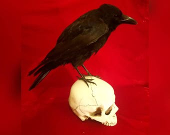 Crow on Human Skull, Taxidermy - Carrion corvid perched on white replica human skull