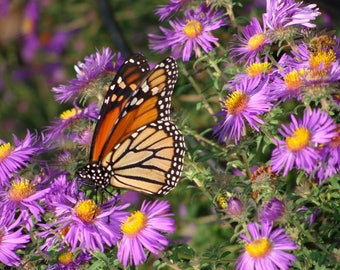 New England Aster (250 thru 1/2 OZ seeds) You Will Love The Purple Beauty! #300