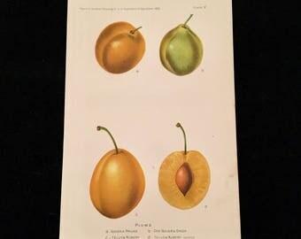 Plums - Original Antique Print, 1893 Dept. of Agriculture Print, Vintage Kitchen Decor
