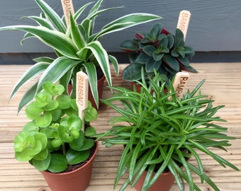 Set of 4 Mixed Foilage House Plants in 5.5cm Pots, Terrariums, Living Walls, Indoor Plant