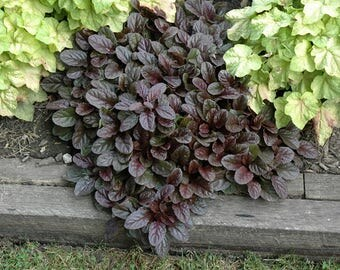 Ajuga Mahogany Live Plants Groundcover Plants