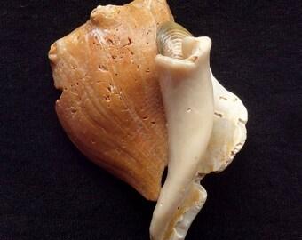 Neocon Shell Pin quarantanove