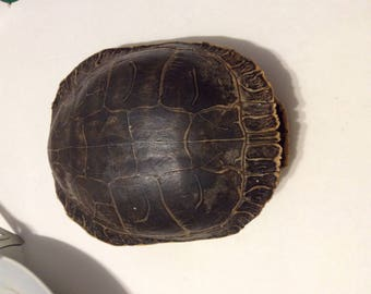Turtle shell, shell, vintage turtle shell