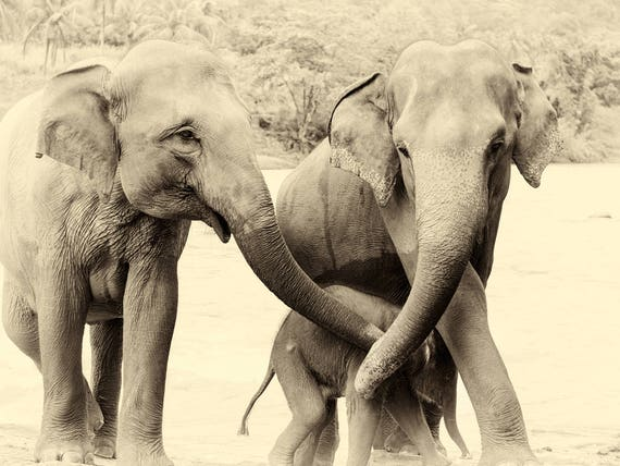 RIVER ELEPHANTS 3. Elephant Print, Sri Lanka, Giclee Print, Wildlife Photography, Limited Edition Print, Travel Photography