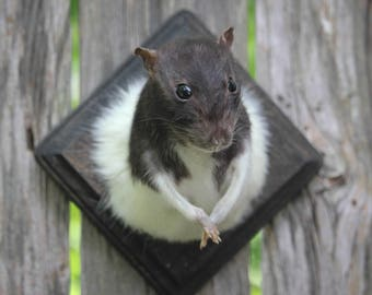 Small Black and White Rat Taxidermy Mount