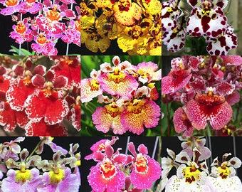 Orchids - Tolumnia Jairak Rainbow x Self - 5 Plants (Equitant Oncidium)