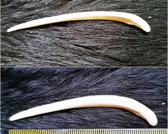 Fox baculum bone