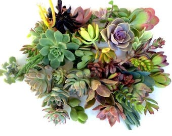 300 succulent cuttings- 300 succulent clippings, mixed assorted succulent plant cuttings