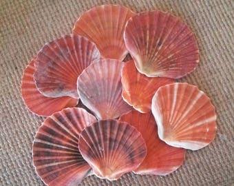 10 Fan Shells - Seashells - Australian Seashells -  Seashell Craft - Seashell Decor - Natural Shells