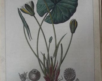 Old paper board botanical plant Nymphaea alba white water lily from the original of Gaston Bonnier 1979 Vintage