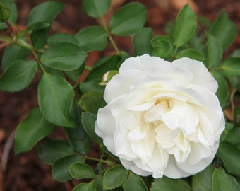 White Flower Photo, White Rose Photo, 5x7 Photo, 8x10 Photo, 11x14Photo