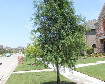BALD CYPRESS TREE quart pot (Taxodiun distichun)