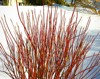 Arctic Fire Red Twig Dogwood 3 Gallon