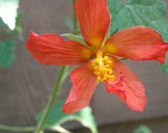 Red Mallow AKA Orange Mini Hibiscus Seeds / Pavonia missionum/ Rare in cultivation