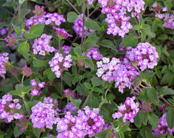 Lantana Purple; Flowering Plant, Evergreen - LIVE POTTED
