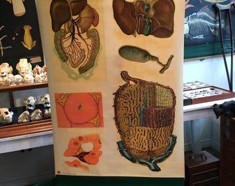 Charter anatomical German vintage, internal organs