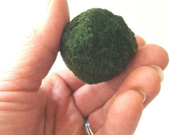 Large Marimo Moss Ball