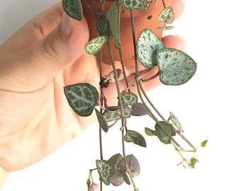 "Trailing succulent plant: Ceropegia woodii or ""String of hearts"""