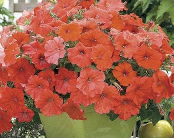 AFRICAN SUNSET ~ Beautiful Orange PETUNIA Seeds ~