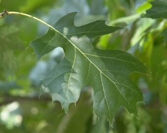 Shumard Oak   Acorns   Quercus shumardii   20 Seeds