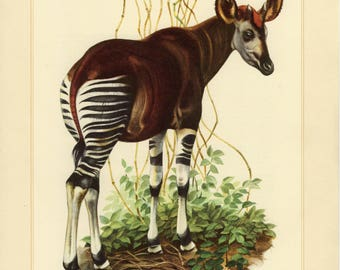 Vintage lithograph of the okapi from 1956