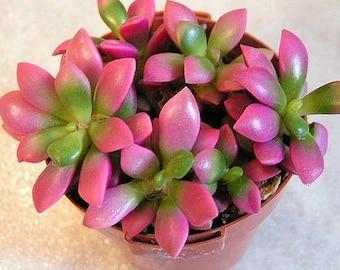 """Anacampseros telephiastrum, Exotic Succulent Plant,  rare succulent """"Sunrise"""" Cluster"""