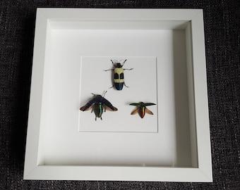 Buprestidae Buprestidae showcase