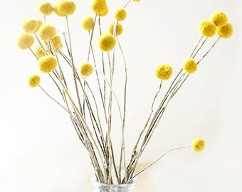30 Stems/Pack,Dried Real Natural Craspedia Flowers,Billy Button Balls,20'' Tall