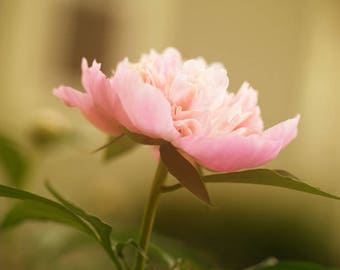 Pink Peony, Flower Photograph,  Floral Decor, Nature Photograph, Home Decor, Printed Flower Picture