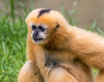A pensive Gibbon Monkey