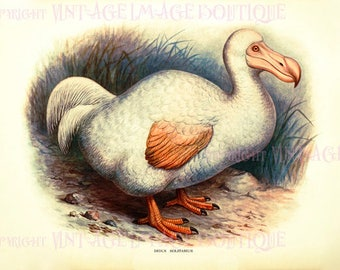 Antique Victorian Ornithological Illustration Of An White Dodo Bird  5x7 Greeting Card