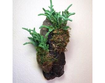 Crassula muscosa Mounted on Driftwood