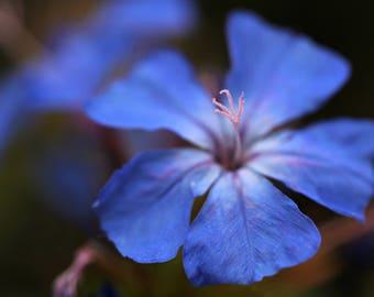 Forest Blue, Flower Macro Photography, Digital Download, Nature Lover, Screensaver, Printable Art, Wall Art, Farmhouse Decor
