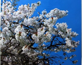 Great White Cherry Blossom