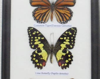 REAL 4 Frame Butterfly Wall Hanging Collection Taxidermy In framed  / B04A