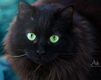 Help shelter - Poster of a fluffy black cat green eyes on light blue background