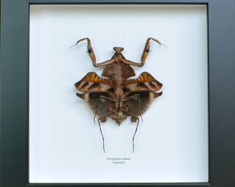 Real female Deroplatys lobata dead leaf Mantis