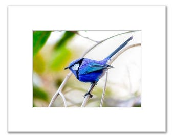 Blue Wren, Splendid Fairy Wren, Matted Photo Print (5x7 inches), Margaret River, Western Australia
