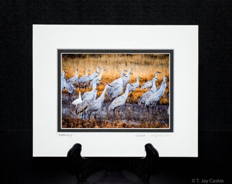 """A 5x7 print titled """"Really"""" with an 8x10 double bevel may. A Snow goose finds itself alone amongst the sandhill cranes"""