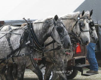 Gray Work Horses