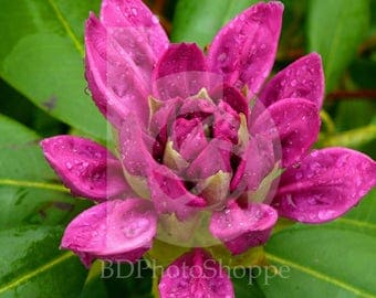 Rhododendron Bloom in Rain | Nature Photo Art | Nature Gift | Fine Art Photography | Personalization | BDPhotoShoppe | Home Office Decor