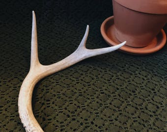 Whitetail Antler