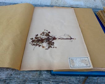 Antique-1887-1889-French-herbarium Potentilla fragarias
