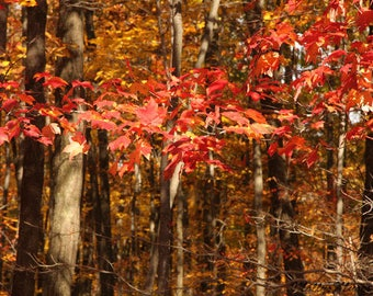 Fall Leaves Print, Autumn Photography, Red Leaf Photo, Woodland Forest Tree Decor,