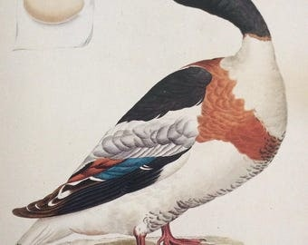 Shelduck by Jan Sepp,  1990s Reproduction Colorplate, Book Plate, 10 x 14 in. Book Page Print, Bird Print, Ornithology Print