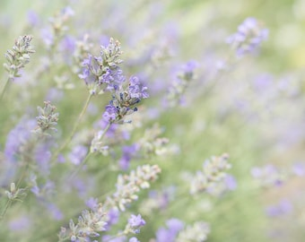 Lavender in my garden-flower photography -flower photo- cottage garden photography(5 x 7 Original fine art photography prints) FREE Shipping