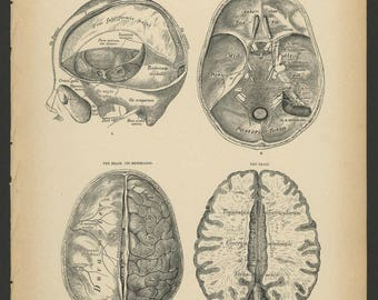 5 Vintage 1880 Human Anatomy Lithograph Print of the Brain and Brain Stem