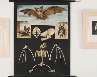 Antique 1970s Original BATS Pull Down Chart. Jung Koch Quentell School Chart. Large BAT Poster. Vampire. Flying Mammals. Over 40 years old