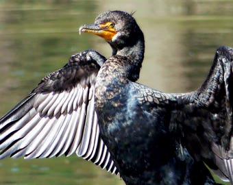 Double Crested Cormorant/ Digital Download/Photography